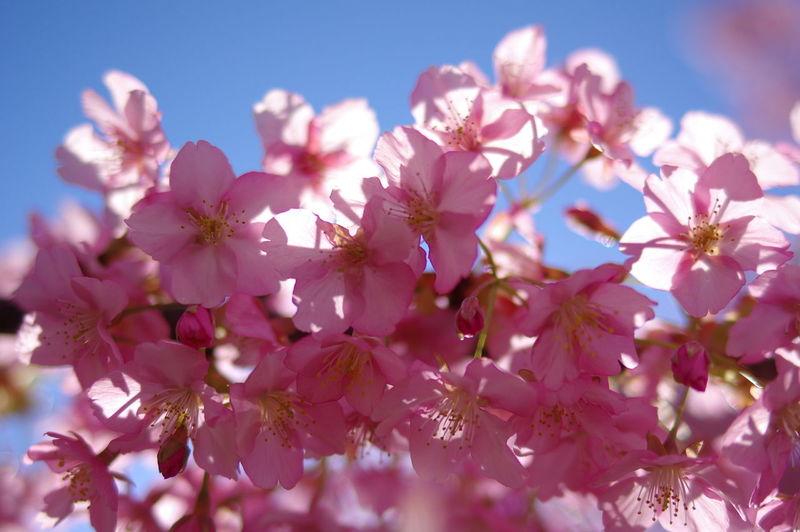 河津桜 Flowering