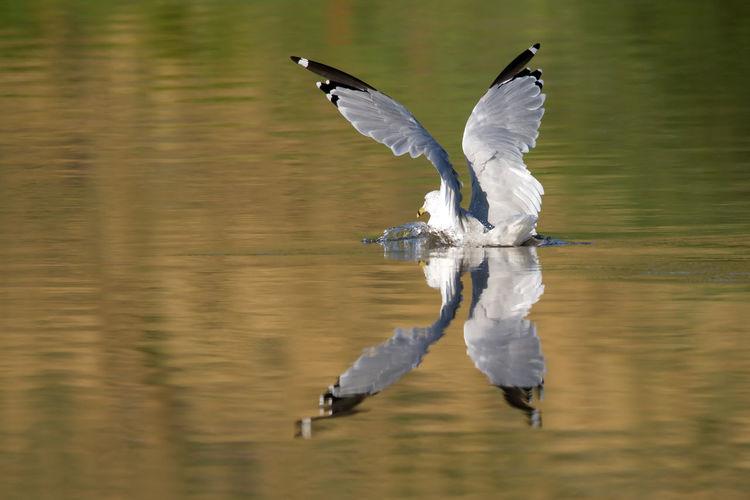 Ring billed gull swimming on lake