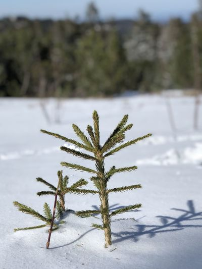 Close-up of frozen plant on snowy field