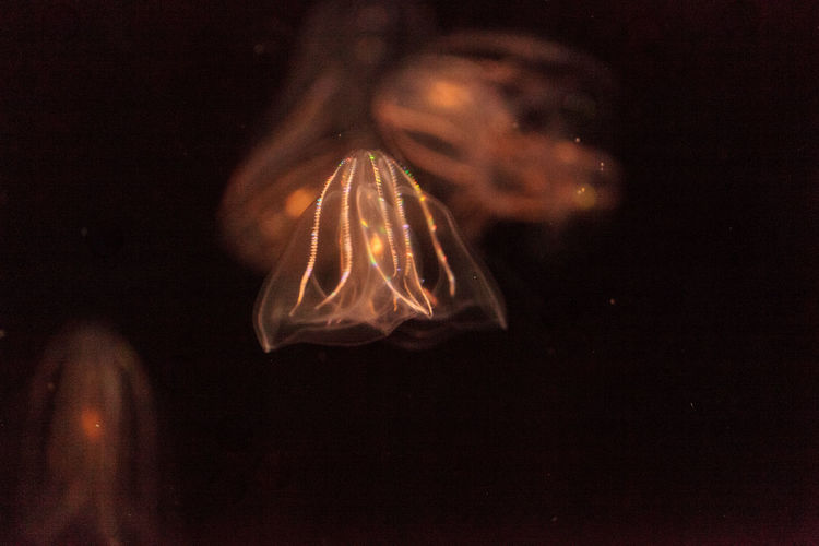 Comb jelly Phylum Ctenophora do not have stinging cells and have a simpler reproductive system than most jellies. Animal Themes Close-up Comb Jellyfish Ctenophora Jelly Jellyfish Nature No People Ocean UnderSea Underwater Underwater Photography