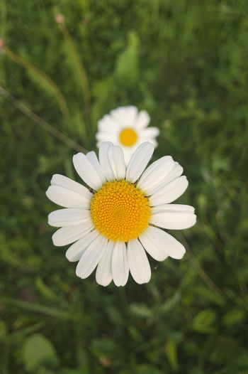 Twins daisies