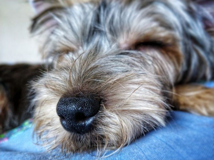 Pets Portrait Dog Looking At Camera Puppy Eyes Closed  Close-up Yorkshire Terrier Animal Hair Hairy  Animal Nose Animal Face Animal Eye Pampered Pets Terrier Lap Dog Purebred Dog