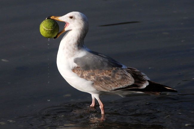 I Love My City Glitch seagull playing fetch Lakemerritt Oakland Seagulls Bird Tennisball Funny FUNNY ANIMALS Fetch