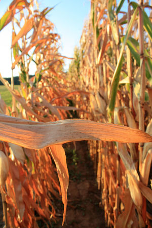 Agriculture Corn Cornfield Essen Food Korn Landwirtschaft Mais Maisfeld Nahrungsmittel