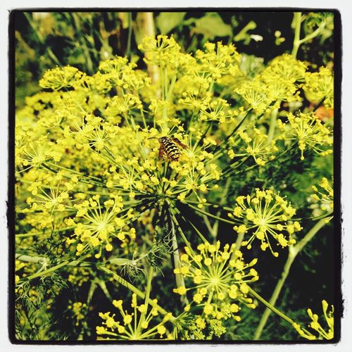 Dill Nature Garden a small wasp sitting on blooming dill