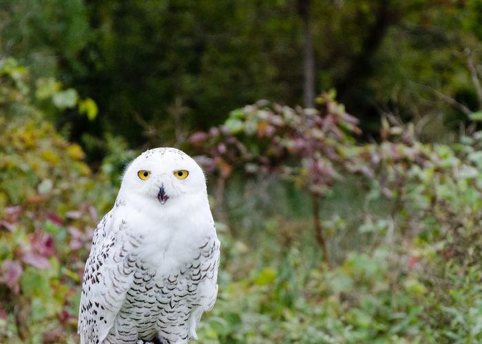 Close-up of owl looking at camera