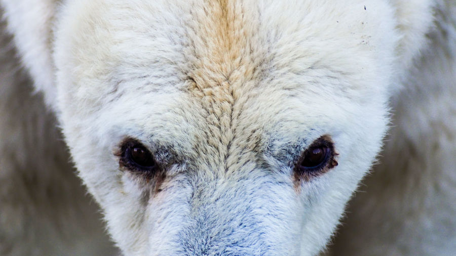 close up portrait of a polar bear Polar Bear Animal Body Part Animal Head  Animal Themes Animal Wildlife Animals In The Wild Climate Change Close Up Close-up Day Domestic Animals Looking At Camera Mammal Nature No People One Animal Outdoors Portrait