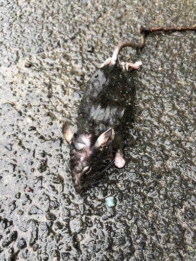 Dead Rat Animal Animal Themes High Angle View One Animal Animal Wildlife Nature Animals In The Wild Day No People Outdoors Wet Zoology
