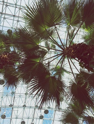 tRAPPED iN pARADISE Palm Trees Palm Garden Chicago Navypier Navypierchicago Chicago Architecture Crystal Gardens Sunday SundayFunday Ceiling Ceilingfan Lookingup
