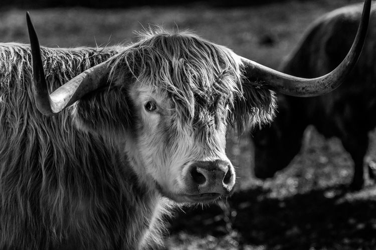 Cow Domestic Animals Mammal Cattle Highland Cattle No People Outdoors Close-up Focus On Foreground Wanderlust Photography