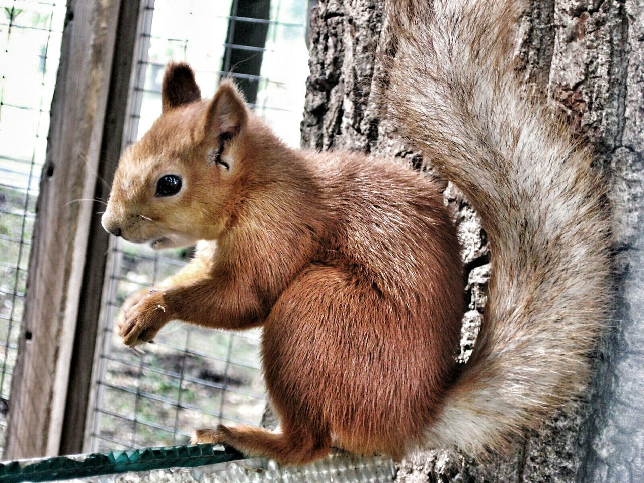 Close-Up Of Eurasian Red Squirrel By Tree Trunk