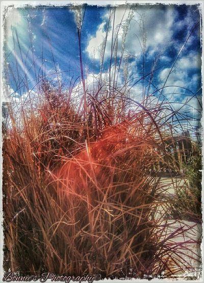 Wild Red Grass Red Grass Grass Wild Grass Picturesque Whimsical Landscape Sky