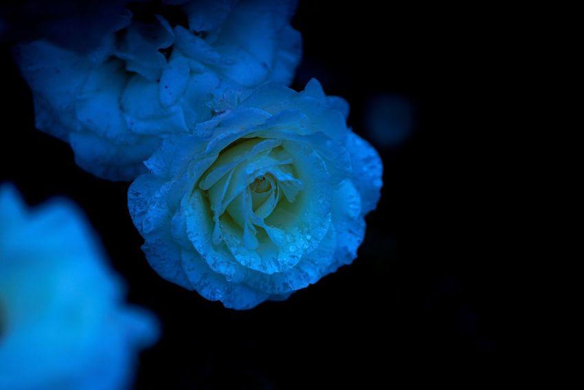 白いバラってヤバい。心を持って行かれる。 Black Background Carl Zeiss Flower Flower Head Rose Garden Roses Roses Are White Rose🌹