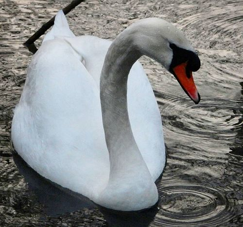 Swan www.facebook.com/melaniecycles Naturephotography Nature Wildfowl Birds Appreciatebeauty Urbannature Reflections Waterphotography Water Pond Lake Cyclephotography Commutebybike Cyclelikeagirl Viewfromthecyclepath Nikon Nikon_photography Nikons9900 Lincoln Lincolnshire