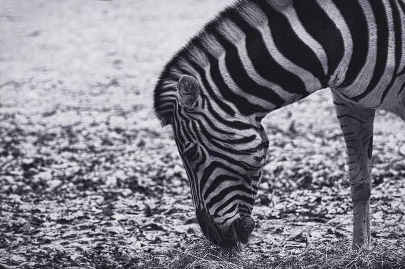 Striped Animals In The Wild Zebra Animal Themes One Animal No People Animal Wildlife Nature Arid Climate Outdoors Day Safari Animals Beauty In Nature EyeEmNewHere Welcome To Black Long Goodbye Zoo Rostock The Great Outdoors - 2017 EyeEm Awards BYOPaper! EyeEm Selects Pet Portraits