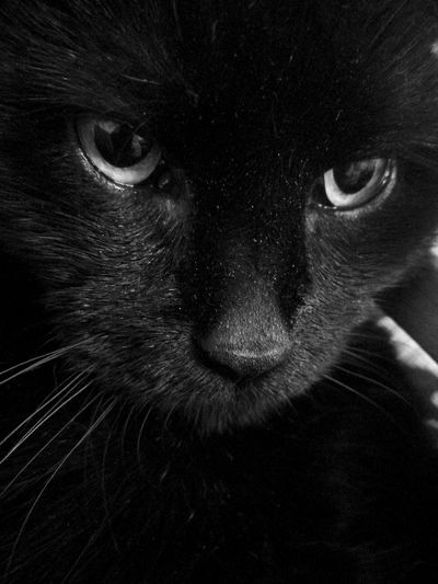 One Animal Feline Black Color Looking At Camera Animal Themes Pets No People Close-up Indoors  Love Cat💕💕 Love Cats❤ Cats 🐱 Cat Eyes Cat Lovers Cat Cuteness Cute Cat 😻 Cute Cat
