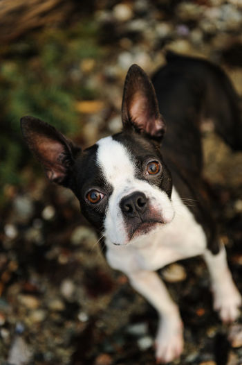 Close-up portrait of boston terrier