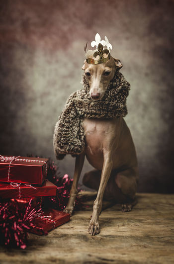 Dog wearing warm clothes while siting by gifts during christmas