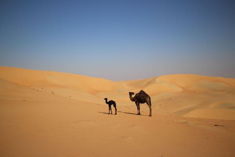 Horses on sand dune in desert against sky