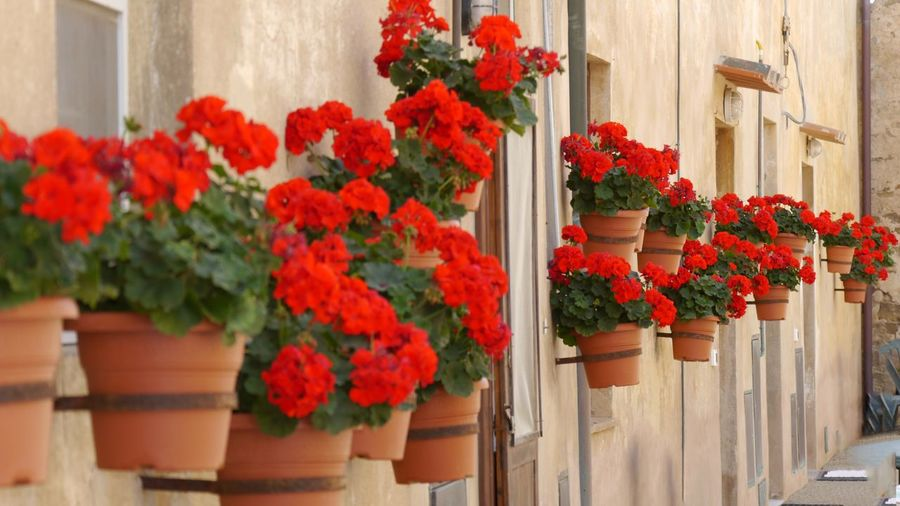 Hanging flower pots with red flowers at mediterranen wall of building