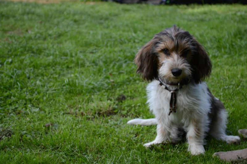 Petit Basset Griffon Vendéen Puppy 15 Weeks Sit Grass Pets Sitting Portrait Dog Puppy Cute Looking At Camera Social Issues Beauty Obedience