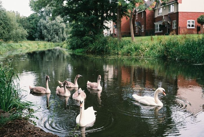 Swans with cygnets on river Swans Animal Themes Animal Wildlife Bird Canal Canals And Waterways Cygnets River Water