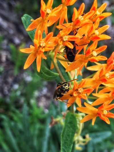 Flowers Bugs And Flowers Orange Flower Beauty In Nature Close-up Orange Color CarolSharkeyPhotography Maine