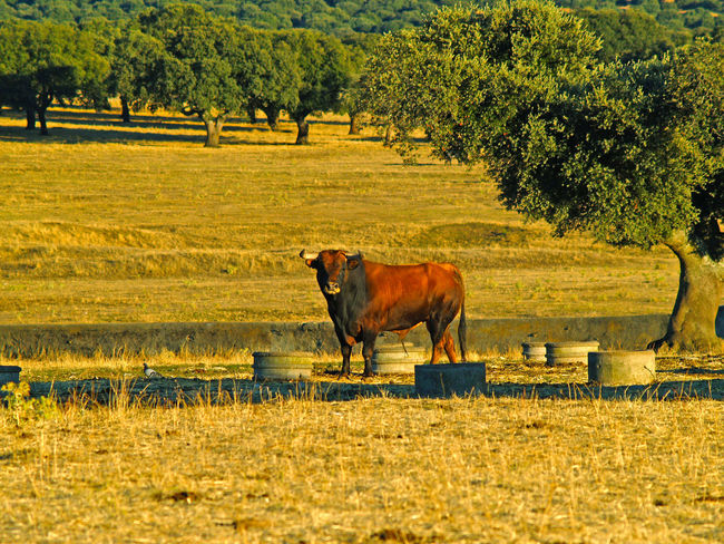 Agriculture Animal Animal Themes Beauty In Nature Bull Bullfighting Cow Cows Danger Day Dehesa Domestic Animals Environment Livestock Mammal Nature No People One Animal Outdoors Power Powerful Quercus Quercus Ilex Toro Toros