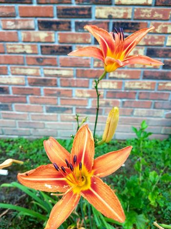 Flower Brick Wall Nature Close-up Flower Head Orange Flowers Yellow Color Backyard Tennessee Nature No Filter Fragility Beauty In Nature