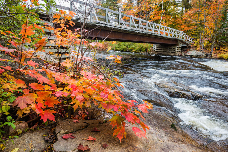 Autumn tree by bridge over river in forest