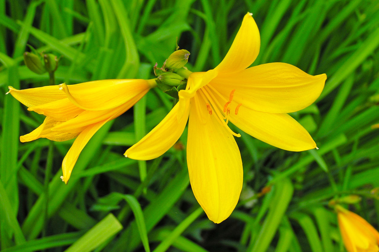 flower, petal, fragility, yellow, freshness, flower head, growth, beauty in nature, nature, plant, blooming, outdoors, close-up, day, no people, day lily