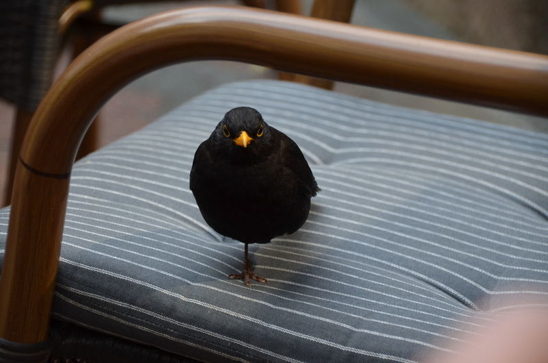 Blackbird on chair