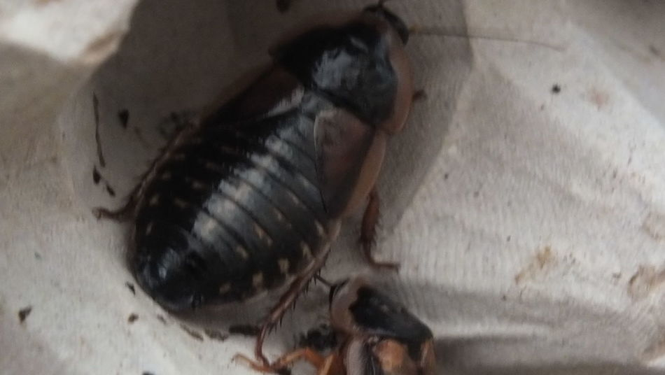 dubia roach Animal Animal Themes Animal Wildlife Black Color Focus On Foreground High Angle View Insect Invertebrate No People One Animal