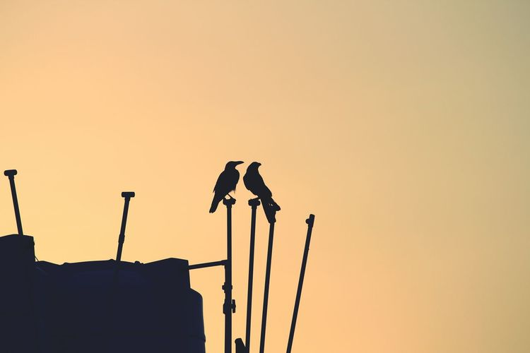Low Angle View Of Silhouette Birds On Rod Against Clear Sky At Sunset