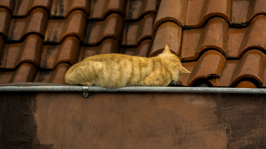 Lazy cat on the roof Animal Animal Themes Architecture Cat Cute Day Domestic Domestic Animals Domestic Cat Ginger Cat Laziness Lazy Mammal No People One Animal Pets Relaxation Roof Sleeping Cat Vertebrate Wall - Building Feature Whisker