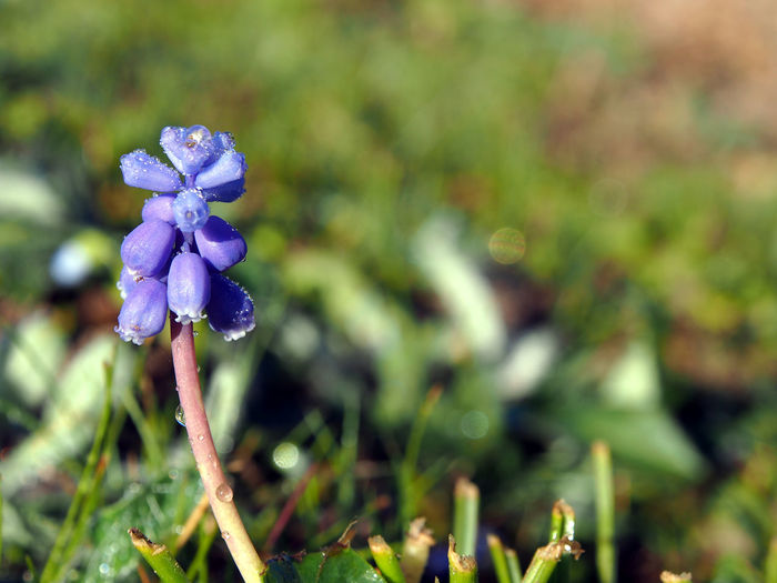 jacinthe muscari flower Flower Plant Flowering Plant Beauty In Nature Freshness Fragility Growth Vulnerability  Close-up Petal Purple Focus On Foreground Nature Inflorescence Day Flower Head No People Field Land Outdoors