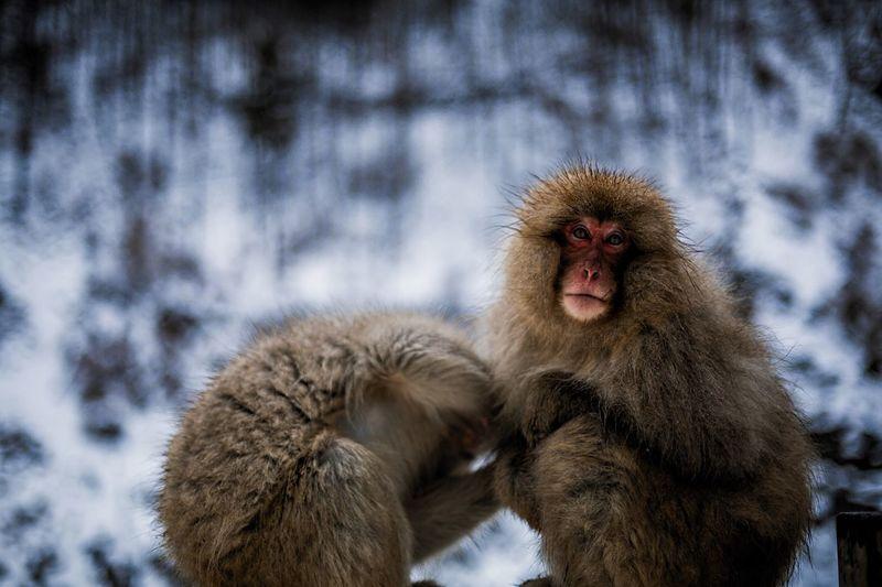 Close-up of monkey on snow