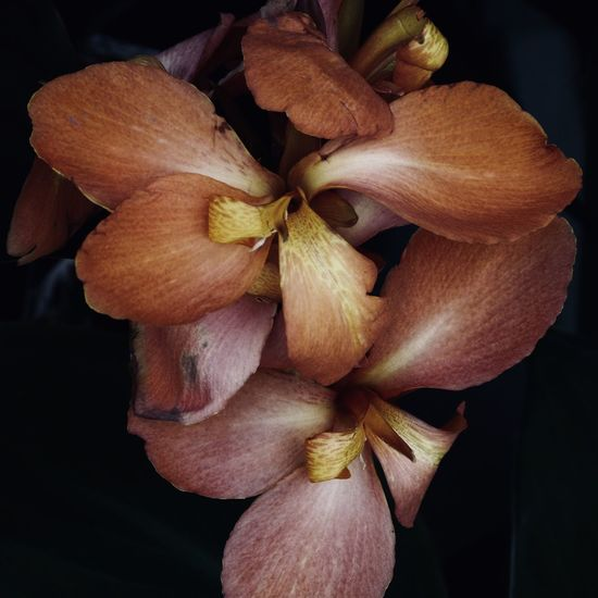 orchid close-up Natural Pattern Orchid Orchid Blossoms Adore Backgrounds Beauty In Nature Black Background Botany Close-up Dark Background Floral Flower Flower Head Flowering Plant Focus On Foreground Fragility Freshness Growth Inflorescence Nature Outdoors Petal Plant Vulnerability