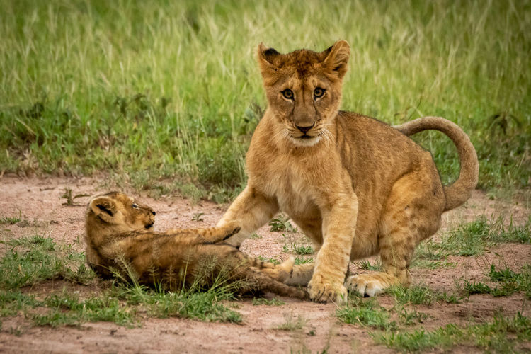 Lioness with cub playing at field