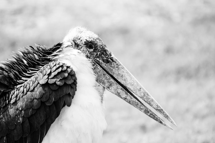 Close-Up Of Marabou Stork On Field