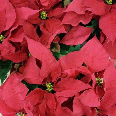 No te quedes sin tu poinsettia. Red xmas forever!!!!. Alea Conceptstore Navidad Xmas Poinsettia Flordepascua