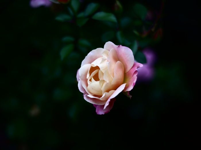 Rose Rosé Rose - Flower Rose🌹 Flower Flowers Flower Head Flower Peony  Petal Pink Color Rose - Flower Close-up Plant