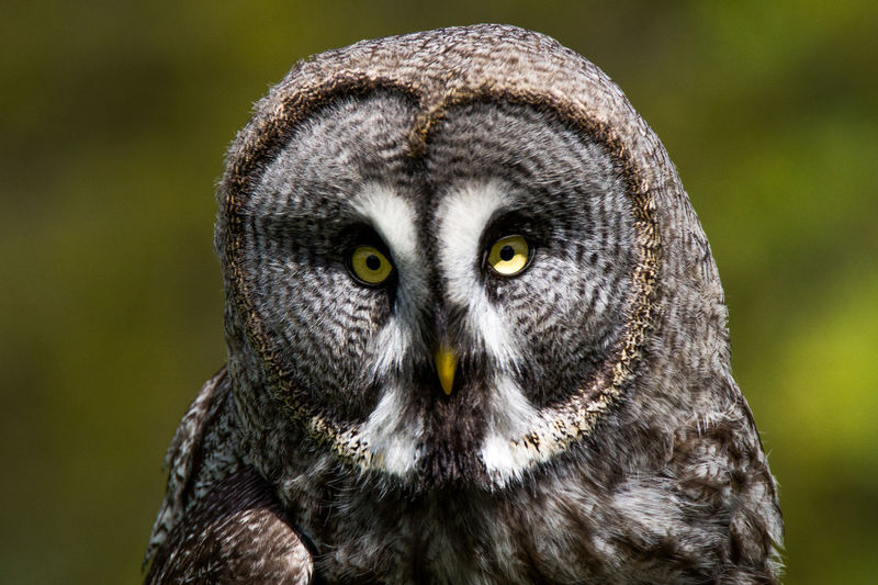 Close-Up Portrait Of Great Gray Owl