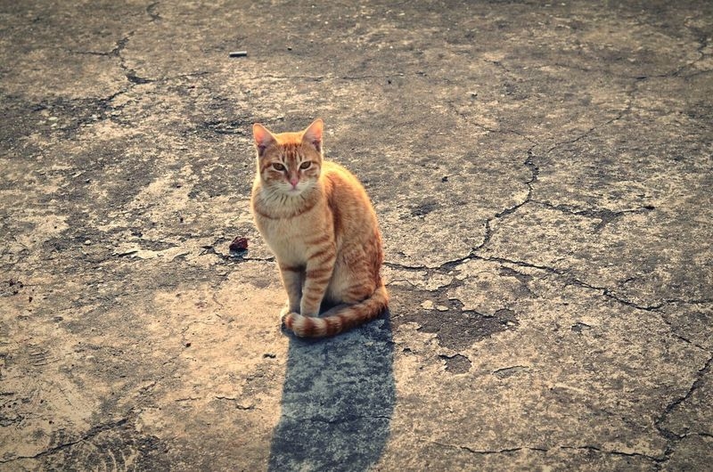 Portrait of cat on road