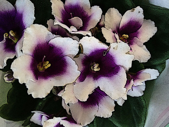 Saintpaulia Ionantha Violeta African Violet Beauty In Nature Bloom Blooming Blossom Close-up Day Flora Floral Floriferous Flower Flower Head Fragility Freshness Lilac Line Drawn Nature No People Outdoors Petal Plant Purple White