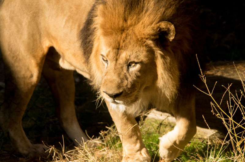 Close-up of lion on field