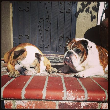 English Bulldog Bulldogs Maximus lola fattys sunbathing littlepigs