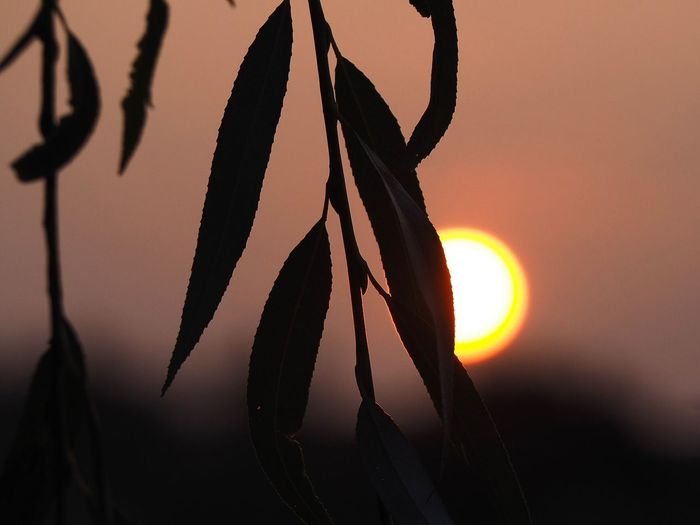 EyeEm Selects Sunset Focus On Foreground Sky Close-up Silhouette No People Beauty In Nature Orange Color Sun Nature Plant Sunlight Tranquility Growth Hanging Outdoors Selective Focus Scenics - Nature Leaf Plant Part