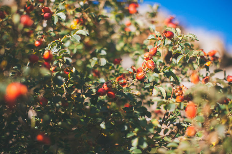 Rose hip berries Berries Nature Bush Dog Rose Food And Drink Growth Outdoors Rosehip Tree Wild