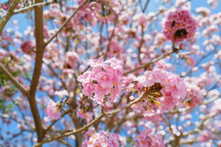 Flower Beauty In Nature Fragility Pink Color Tree Growth Nature Close-up Tropical Botanical Gardens Botanical Garden Sky Branch Blossom Low Angle View Springtime Freshness Beauty In Nature ชมพูพันทิพย์ Floral Flowers Outdoors